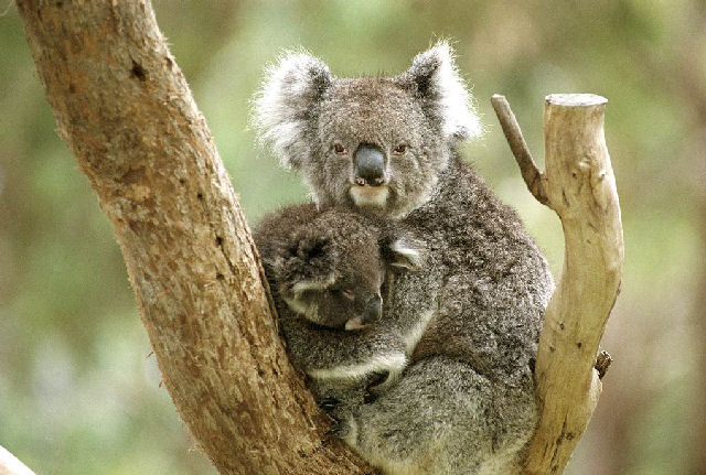Koalas - click to view a full description.